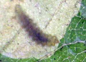 Horse Chestnut leaf miner moth - an App