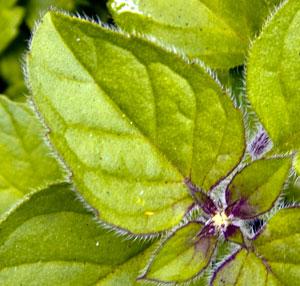 leaf-marjoram