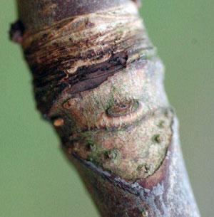leafscar1