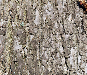 lime-bark