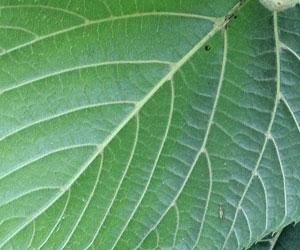 lime-veins