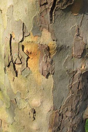 london-plane-bark