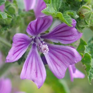 mallow flower 2