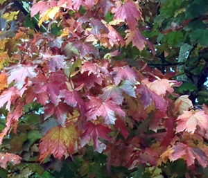 Autumnal colours and leaves of gold.