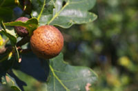 Galls and Oaks