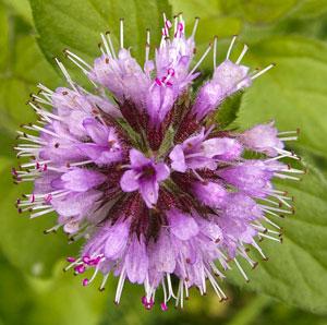 marj-floral-cluster
