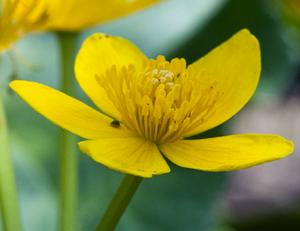 marsh marigold 2