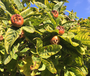 Unusual or exotic trees - The Medlar (Mespilus germanica).