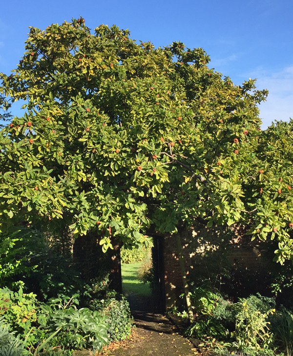 A medlar tree laden with fruit (in early October)