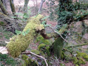 moss in oak wood