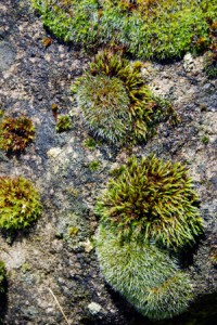 Invasion of the land : mosses, bryophytes and climate change.