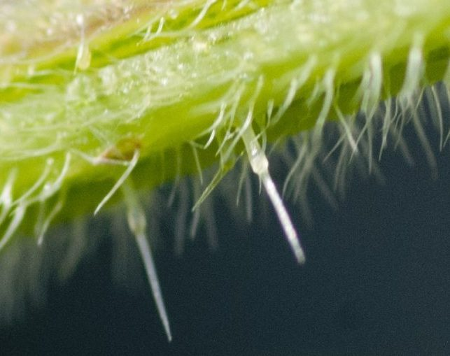 The trichomes on a nettle stem