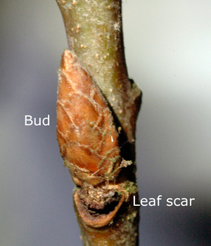 oak-bud-labelled