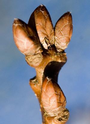 oak-bud
