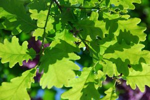 Oak trees, moths and resilience.