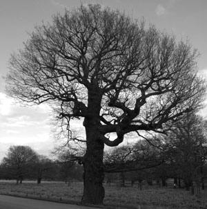 oak-outline-in-winter
