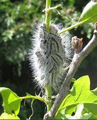 'Toxic caterpillars' – the oak processionary moth and brown tail moth