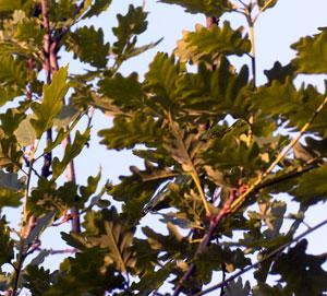 oak leaves in canopy