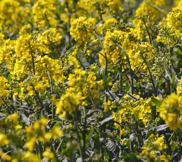 oilseed rape2