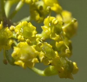 parsnip flower