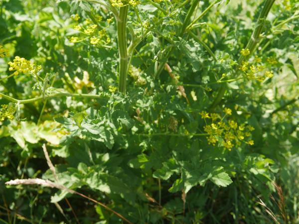 parsnip plant