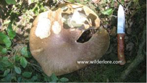 Penny Bun Mushroom foraging