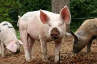 Keeping pigs in woodlands