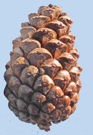 Pine cones - an activity
