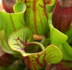 pitcher plant1a