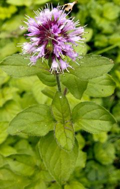 plant-marjoram