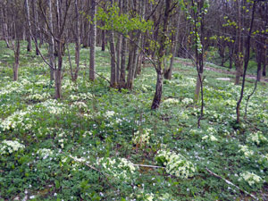 primrose-woodland