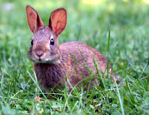The rabbit - an introduced species.