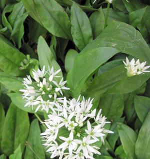 ramson-plant