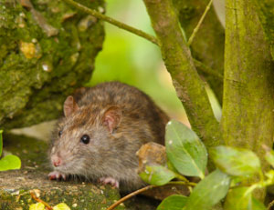 Invasive species – Rats.