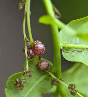 red currant gall