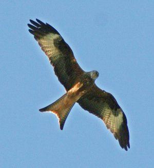 red-kite-3