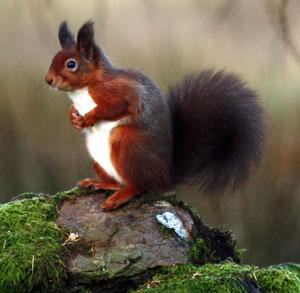 Red Squirrels Woodlands Co Uk