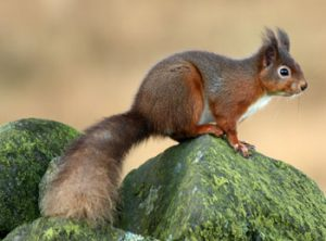 Rehoming red squirrels