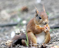 Red squirrels in Scotland.