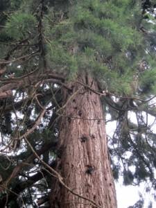 Sequoias threatened