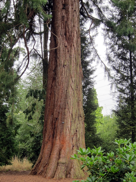 redwood tannin rich