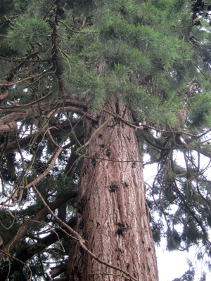 Sequoias threatened