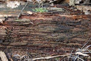 rotting-wood