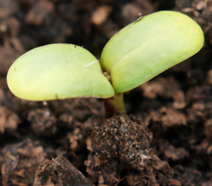 emergent seedling