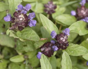 selfheal plant