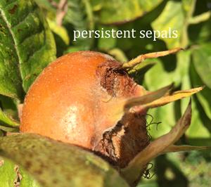 sepals-medlar-fruit