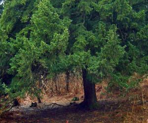 shade under yew