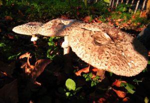 Monthly Mushroom: The Parasol Mushroom (Macrolepiota procera)