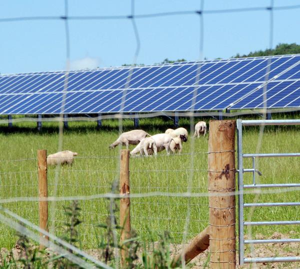 Sheep grazing around solar array