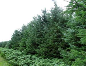 Sitka Spruce Surprises